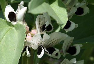 Broad_bean_flower_fleur_de_feve_fav